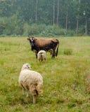 Skrämma och två får som betar i fältet Arkivfoton