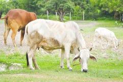 skrämma oxen Royaltyfria Bilder