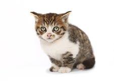 skrämmd kattunge Royaltyfri Fotografi