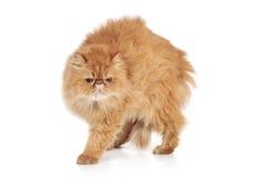 skrämmd ljust rödbrun perser för katt arkivfoton