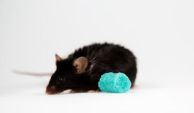 Skräpmat och sjukligt fet mus Arkivbilder
