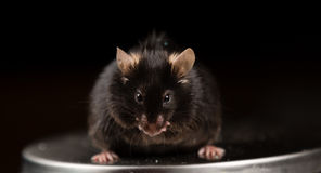 Skräpmat och sjukligt fet mus Royaltyfri Bild