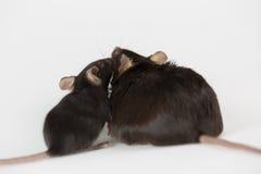 Skräpmat och sjukligt fet mus Arkivfoto