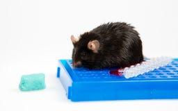 Skräpmat och sjukligt fet mus Fotografering för Bildbyråer