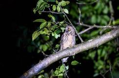 Skrót lub długi słyszący sowy obsiadanie na gałąź fotografia stock