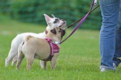 Skrót ostrożnie wprowadzać źrebię mopsa psa na smyczu z białym francuskim buldogiem w tle obraz royalty free