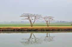 Skraca między dwa drzewami Tay Ninh Wietnam Fotografia Royalty Free
