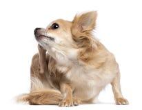 Skrapa för Chihuahua Arkivfoton