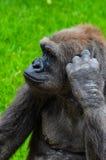 Skrapa för gorilla Arkivbild
