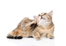 Skrapa för inhemsk katt bakgrund isolerad white royaltyfria foton