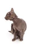 Skrapa för kattunge royaltyfri fotografi