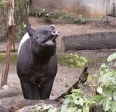 Skratta den Malayan tapir Royaltyfri Foto