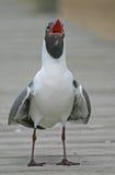 skratta för fiskmås Royaltyfria Foton