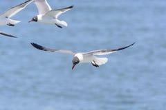 skratta för flygfiskmås Royaltyfria Foton