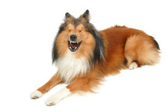 skratta för hund Royaltyfria Bilder