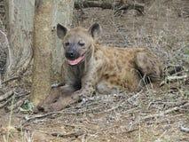 skratta för hyena Royaltyfria Bilder