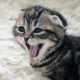 skratta för kattunge Royaltyfria Foton