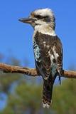 skratta för kookaburra royaltyfri foto