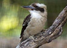 skratta för kookaburra Arkivfoto