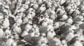 Skratta fiskmås i ett hav av skratta fiskmåsar royaltyfri fotografi