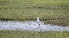 Skratta fiskmåsfågeln i salt träsk, fristad för djurliv för Pickney ö nationell, USA arkivfoton