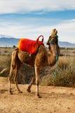 Skratta kamel Arkivfoto