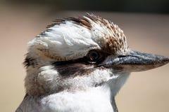 Skratta Kookaburra - Dacelonovaeguineae fotografering för bildbyråer