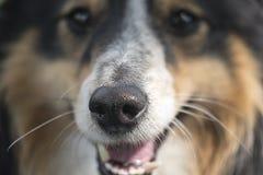 Skratta näsan för hund` s Royaltyfria Bilder