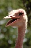 skratta ostrich Arkivbilder