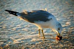 Skratta Seagull Royaltyfria Bilder