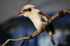 Skrattfågel Arkivbilder