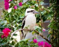Skrattfågel Royaltyfri Bild
