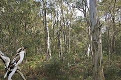 Skrattfågel bland eukalyptusträden Arkivfoton