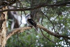 Skrattfågel i träd Fotografering för Bildbyråer