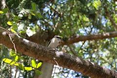 Skrattfågel i träd Arkivbilder