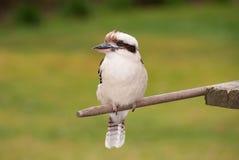 Skrattfågel i trädgården Arkivfoto