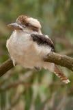 Skrattfågel på en filial arkivbilder