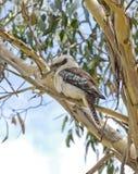 Skrattfågel på en trädcloseup Fotografering för Bildbyråer