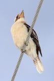 Skrattfågel på kraftledning Arkivbilder