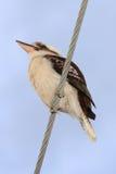 Skrattfågel på kraftledning Royaltyfri Fotografi