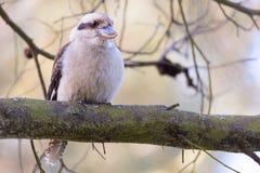 Skrattfågel som sätta sig på en stor trädfilial arkivfoto