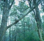 Skrattfågel som sitter på ett eukalyptusträd royaltyfria bilder