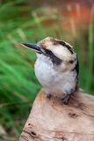 Skrattfågelsammanträde på en journal Royaltyfri Foto