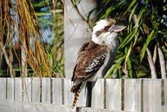 Skrattfågelsammanträde på det förorts- husstaketet Arkivfoton