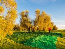 skörda olivgrön Fotografering för Bildbyråer