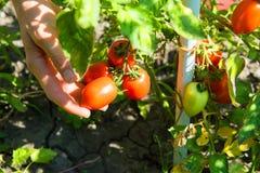 Skörda organiska tomater i trädgården Fotografering för Bildbyråer
