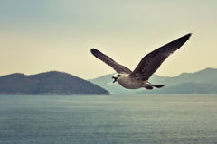 Skria seagull i flyg Royaltyfri Bild