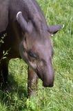 Skriande grå tapir Arkivbilder