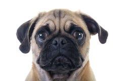 Skriande mopshund royaltyfria bilder