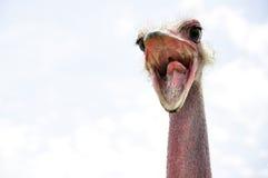 Skriande ostrich fotografering för bildbyråer
